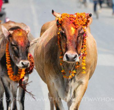आज यमपञ्चकको  चौथो दिन  गाई र गोरुको पुजा गरी मनाईदै